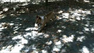Bull Terrier Rescue Inc Of California