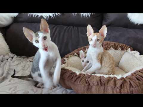 Cornish Rex cat babys 10 weeks old