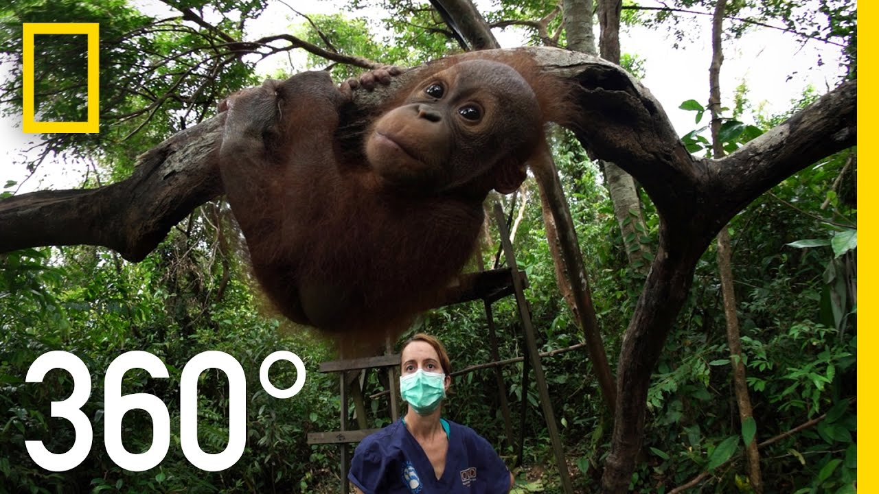 360° Orangutan School | National Geographic