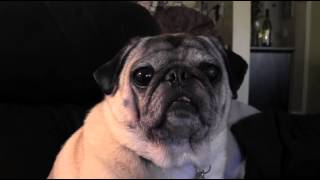 What It's Like To Tell Max The Pug A Joke!