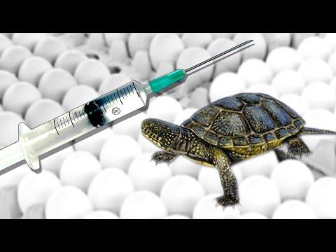 инкубация яиц болотной черепахи