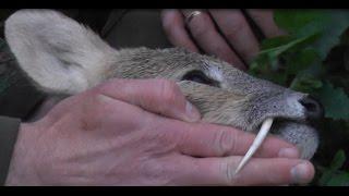 WILD Jaeger England Chinese Water Deer Hunt BUSHNELL