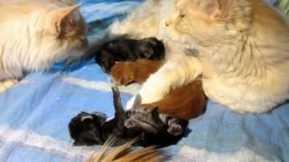 Кот сомневается в отцовстве.Cat doubts paternity.