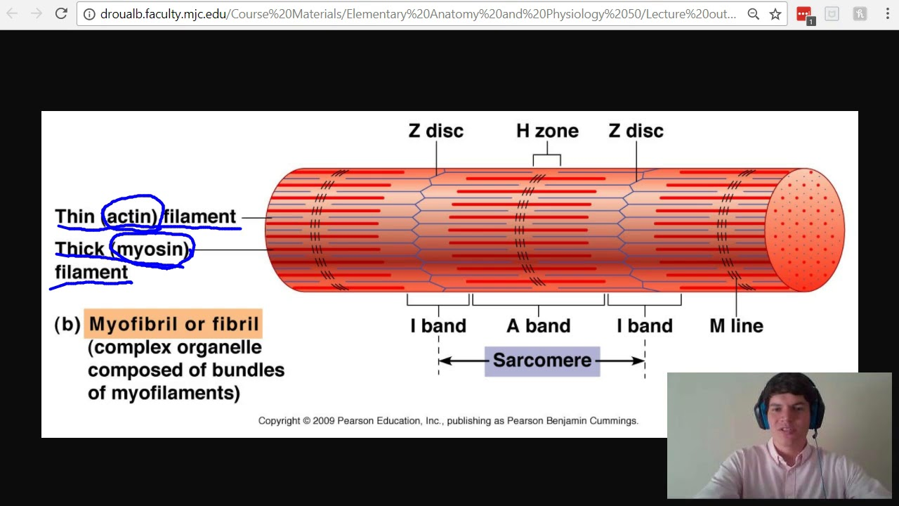 MCAT Question of the Day: Sarcomere Anatomy: I Band, A Band, M Line ...