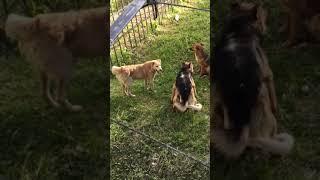 Собачья свадьба ахаха ржака fail 2018