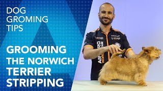 Grooming the Norwich Terrier  Stripping Technique by Luis Martin del Rio
