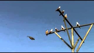Благодарненские голуби(, 2012-05-09T07:02:44.000Z)