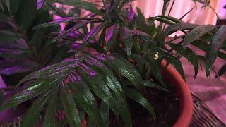 Хамедорея-горная карликовая пальма. Пересадка и уход. Chamaedorea elegans