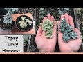Topsy Turvy Harvest / Succulent Propagation // Angels Grove Co