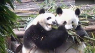 Saat-saat Lucunya Anak Panda Raksasa