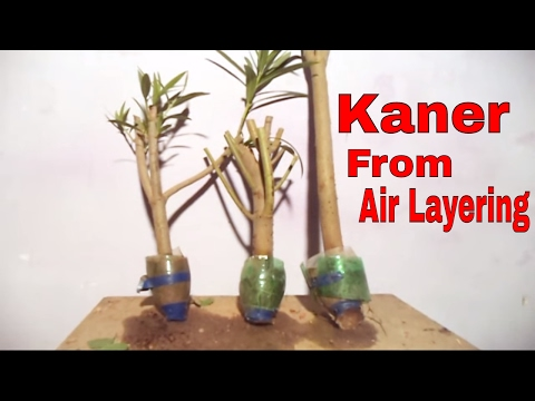 How to Grow Nerium Oleander Bonsai tree from air layering  | Grow Kaner in the pot (Hindi)