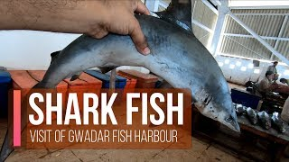 Found Shark Fish | During Visit of Gwadar Jetty | Fish Harbour Visit | Vlog # 13 |