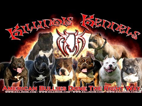 AMERICAN BULLY STUD FOR SALE FROM THE WORLD FAMOUS KILLINOIS KENNELS,