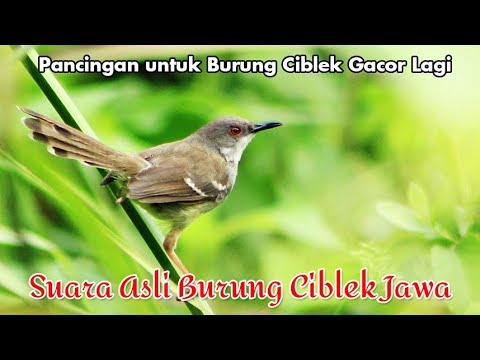 Suara Asli Burung Ciblek Jawa untuk Pancingan Burung Bunyi Gacor (Bar-winged Prinia)