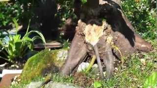 Buche mit Totholz