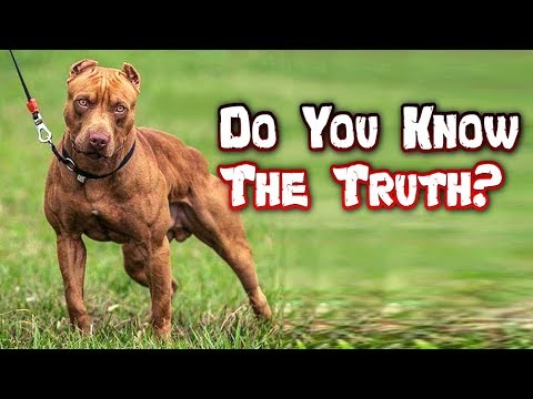 pit-bull-myths-debunked---american-pit-bull-terrier-truths