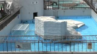 円山動物園のトド、ラーズ(メス/14歳)。 2012年5月18日に、繁殖のため、...
