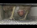 Как куры несут яйца mp3
