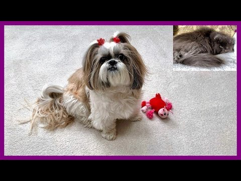 Happy Valentine's Day from Lacey and Lexi 🌹💝 | Shih Tzu dog 🐾 tricks | Blue Persian cat