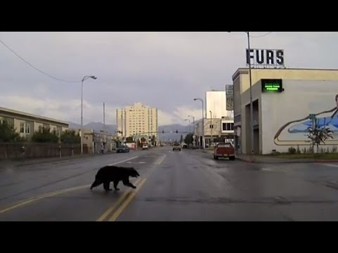 Wild Bear Strolls Around City Checking Out Pizza Hut and Fur Coat Store