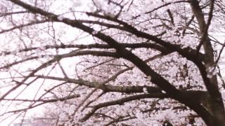 Sakura @ Kema Sakuranomiya Park (Osaka) 毛馬桜ノ宮公園
