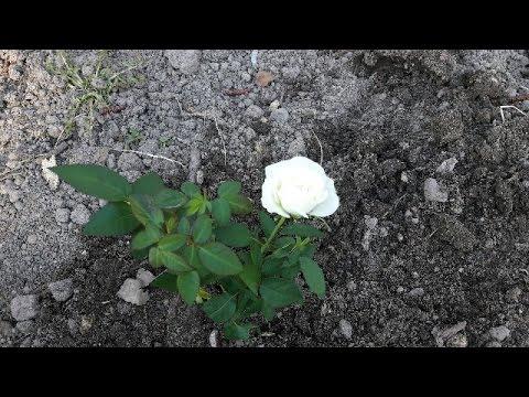 Как посадить МИНИ-РОЗУ в открытый грунт весной!!!
