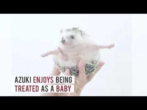 Meet Azuki, The Cutest Hedgehog From Japan