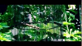 Download Suara Burung Ciblek - Suara Burung Ciblek Untuk Masteran