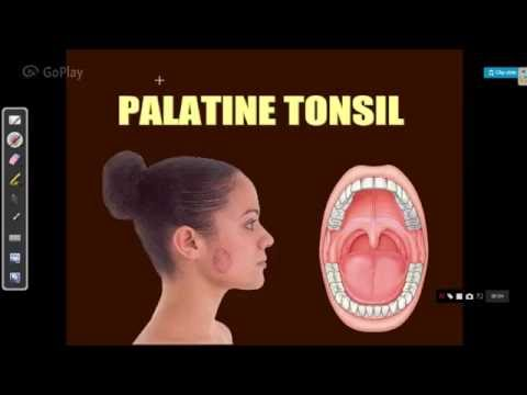 ENT LECTURES anatomy of palatine tonsils - YouTube
