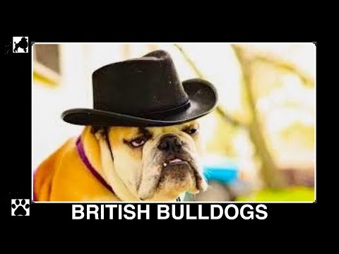 BULLDOG BRITISH  ENGLISH BULLY BREED - BULLDOGS  DIY Dog Info & Food by Cooking For Dogs
