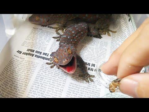 Bí quyết thuần phục tắc kè (how to tame a gecko)
