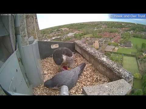 Urban Peregrine Project 2019 Video Highlights