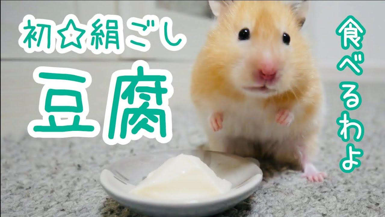 初めて豆腐を食べるハムスター!部屋んぽ中のトコトコ・モグモグが可愛い