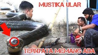 Mustika Ular Cobra   Hanya satu Di Dunia