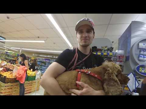 Спаниеля Сёму взяли в супермаркет с собой.