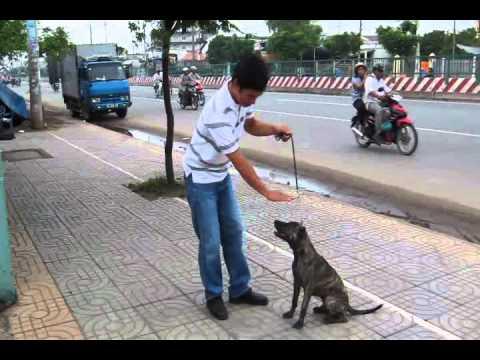 cho phu quoc  - phu quoc bridgeback dog