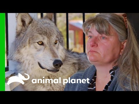 Owners Need To Make A Tough Decision About Their Beloved Pet   Wolves and Warriors