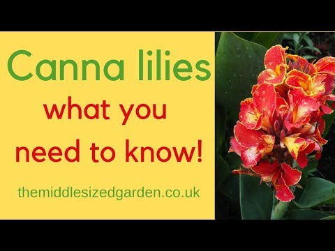 Canna lilies - everything you need to know about how to choose and grow cannas