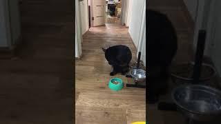 Мейн Кун Рокки ест лапой