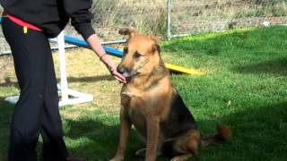 Meet Max A German Shepherd King Currently Available For Adoption At Petango.com! 10/29/2014 5:59:12