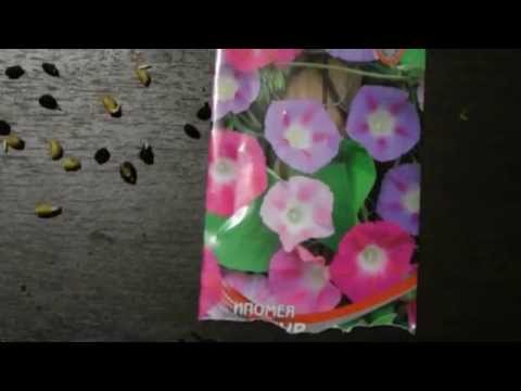 Цветок ипомея – уход и посадка; фото ипомеи, ипомея
