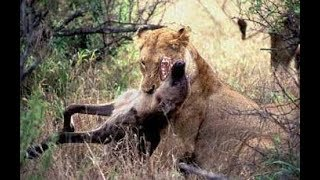 Deadly Fights Animals! Lions vs Hyenas - Animal attacks