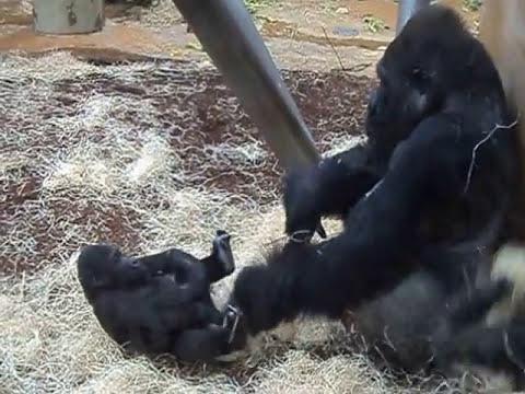 Silberrücken Gorilla &  Gorilla Babys spielen miteinander!