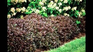 видео Дерен — разновидности окрасок на фото и правила выращивания. Жми!
