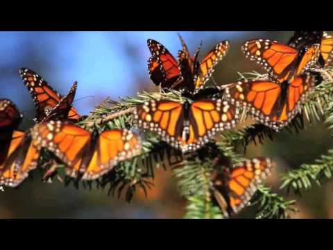 Monarch Butterfly Tour in Mexico