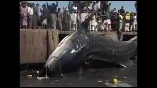 Pakistan Fishermen Catch A Giant 15,432lb Shark!