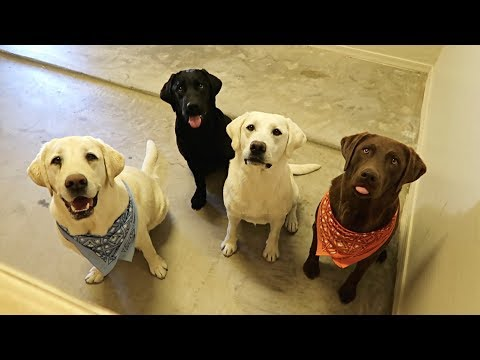 Labradors Learn to Use Doggy Door!