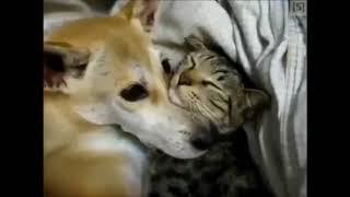 Очень милое видео!!! Кошки и Собаки любят друг друга!!! Нежность 2018