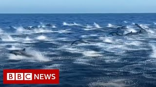 Dolphin stampede wows whale watchers - BBC News