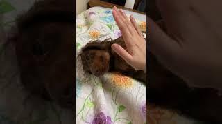 귀찮은 닥스훈트 | Lazy dachshund
